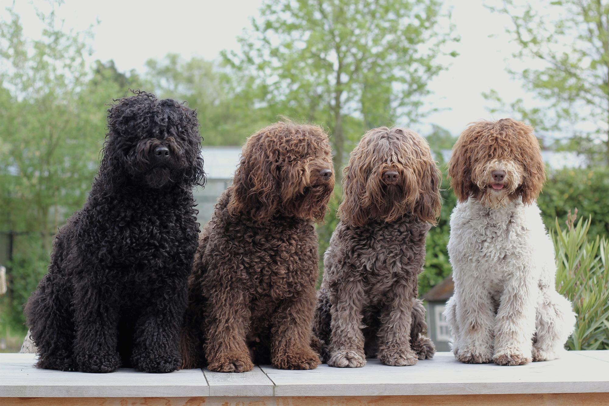 barbet honden op een rijtje